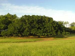 GEN.Treaty-Bur-Oak-at-Huag-ranch-840