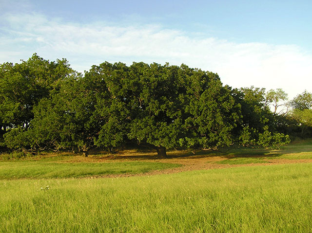 GEN.Treaty-Bur-Oak-at-Huag-ranch-840