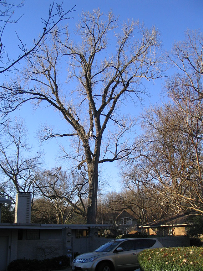 PRUNING.Christmas-2003,-Cottonwood-tree-@-Groebe-006