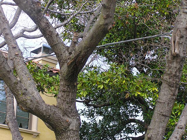 Cabling Bracing Holistic Tree Care Inc